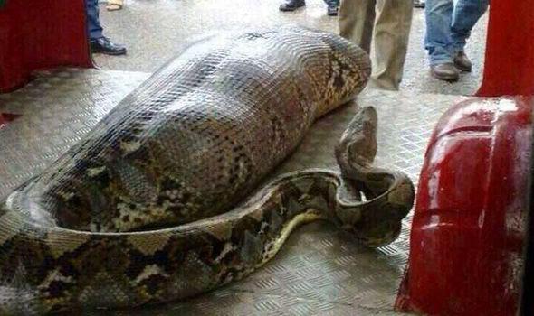 python-a