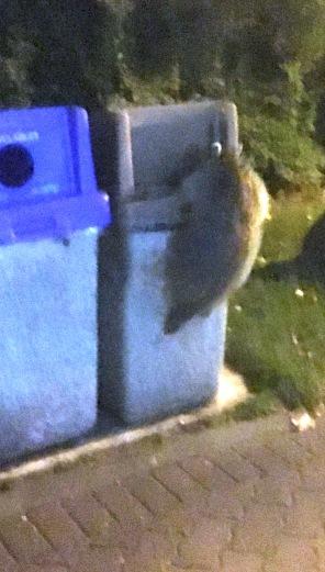 Cheao Trick Raccoon1