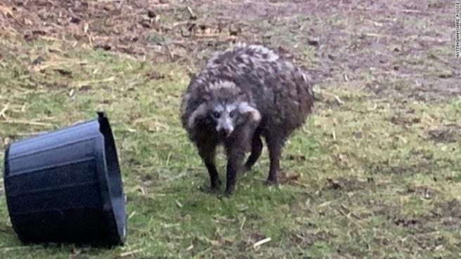 raccoon-dog-uk-exlarge-169